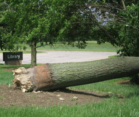 Fallen Tree at Library - Click to Enlarge